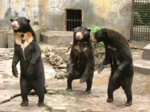 Бируанг или солнечный медведь2