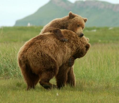 Гризли – американский брат бурого медведя3