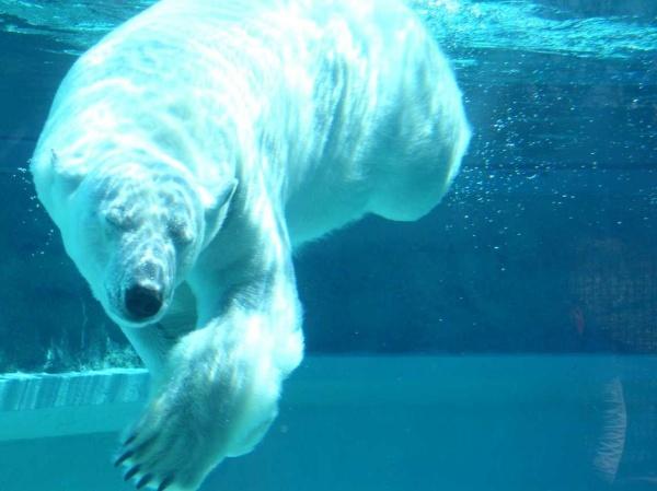 белый медведь на беговой дорожке видео