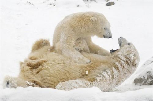 Медведи не только бурые бывают2