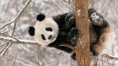 Панды и особенности их питания и среды проживания2
