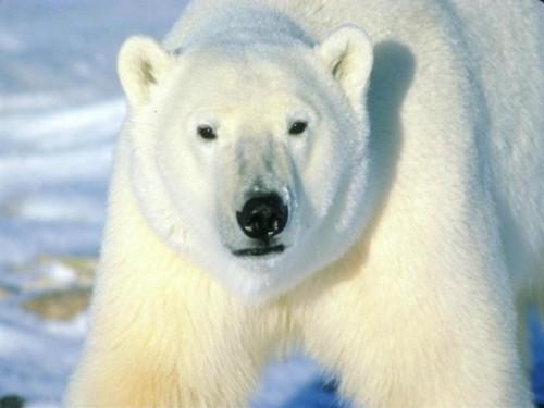 Содержание белых медведей в московском зоопарке3