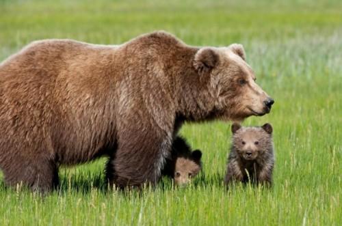 Эти удивительные огромные животные – медведи.