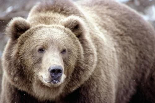 Эти удивительные огромные животные – медведи.2