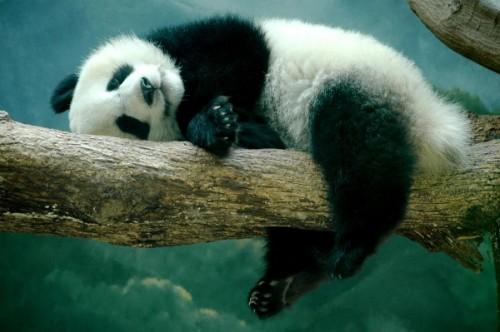 Загадочная панда – медведь или другое животное?