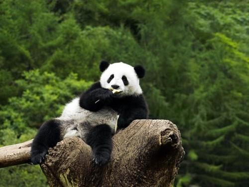 Какое всё таки красивое животное панда!