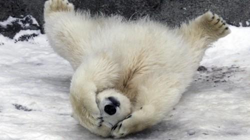 Медведи белые, обитание