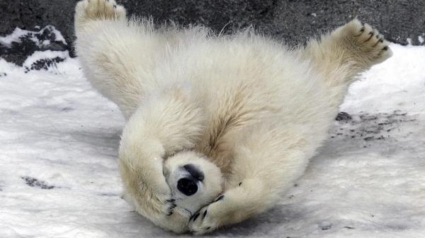 картинки белых медведей