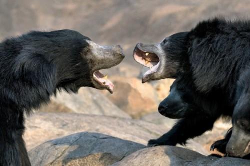 Медведь губач2