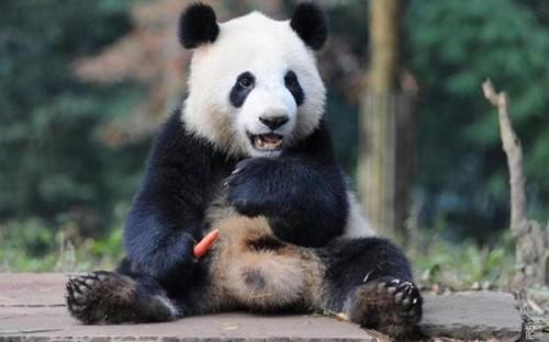 Милые мишки – большие панды 2
