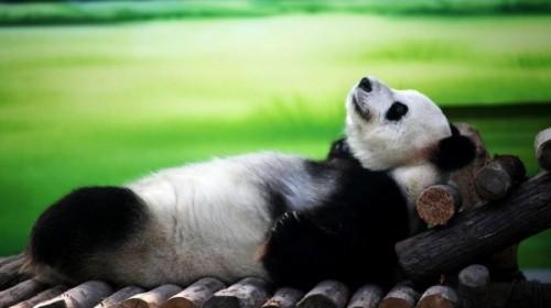 Панды – очаровательные вымирающие мишки2