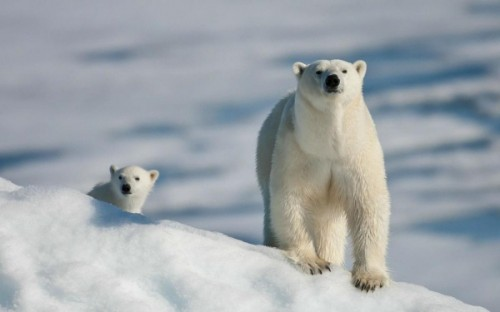 Северный медведь – символ мощи и жизнестойкости3