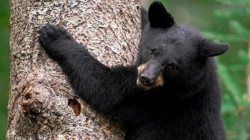 Барибал - черный медведь Северной Америки.2