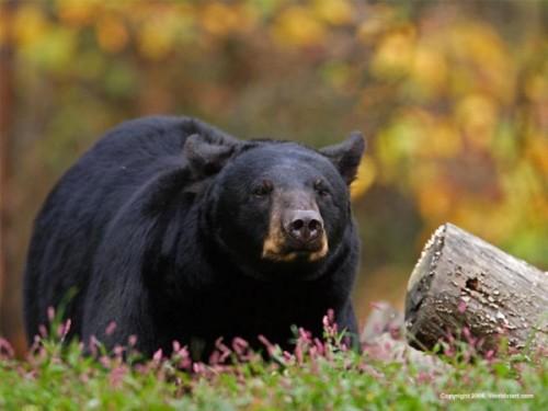 Барибал - черный медведь Северной Америки.3