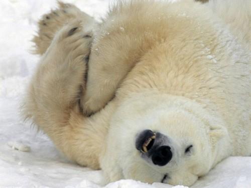 Белые медведи3