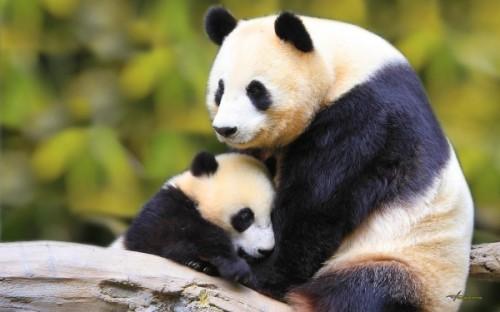 Большие панды и их особенности
