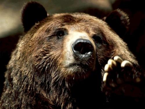 Бурый медведь, что мы о нем знаем?