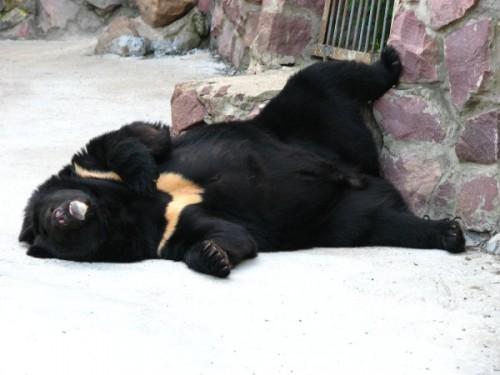 Картинки по запросу малайские медведи