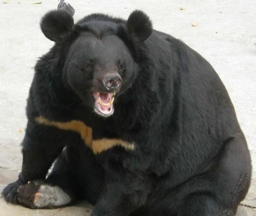 Гималайский медведь и человек2