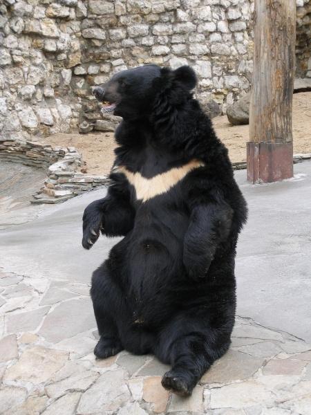 Гималайский медведь и человек3