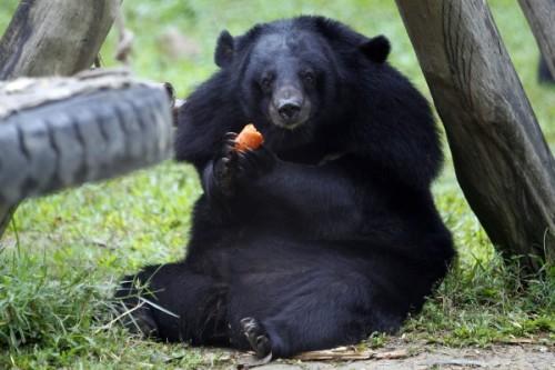 Гималайский медведь2