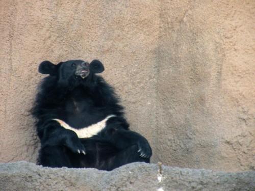 Особенности белогрудых медведей.2