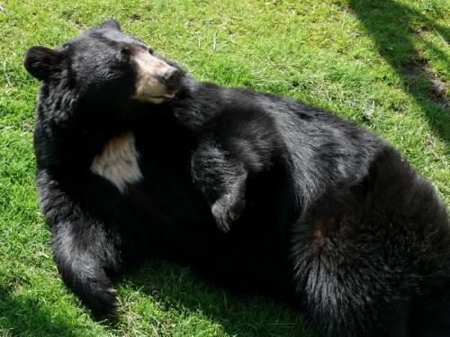 Особенности белогрудых медведей.3