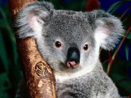 Особенности питания коалы
