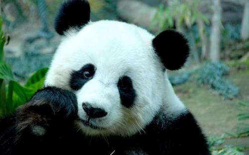 Панда – медведь, который не спит зимой