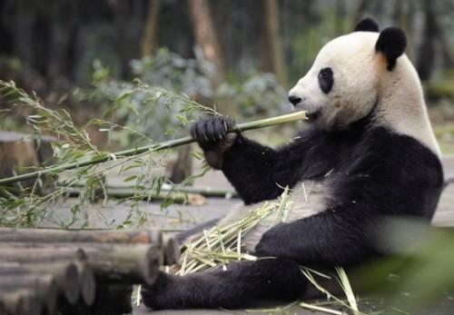Панда – медведь, который не спит зимой3