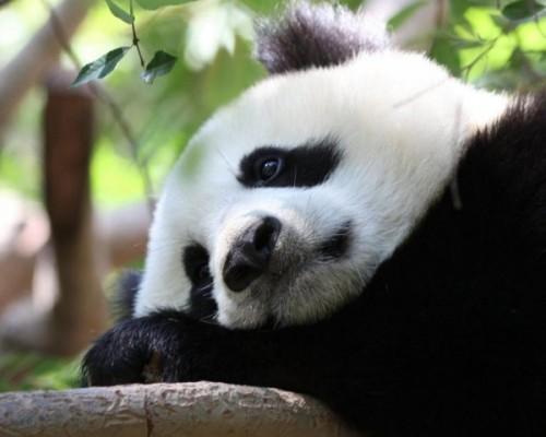Панды: питание, среда обитания2