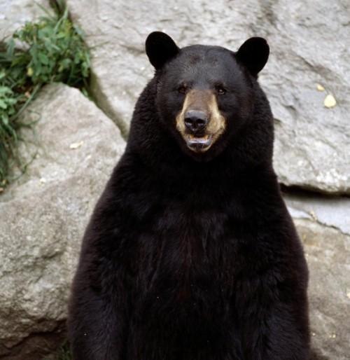 Свирепые малайские медведи