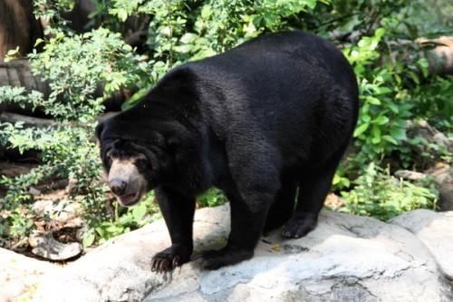 Свирепые малайские медведи3