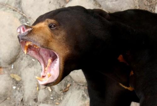 Свирепые малайские медведи5