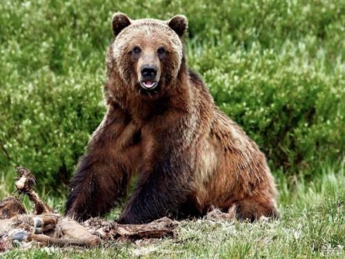 Человек и медведь2