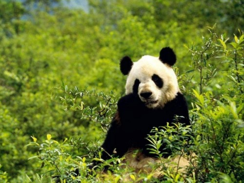 Черно-белое чудо или просто панда5