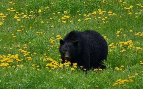 Черные медведи4