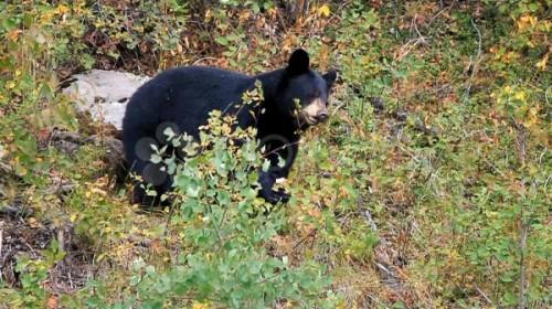 Черные медведи5
