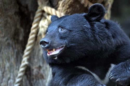гималайского медведя