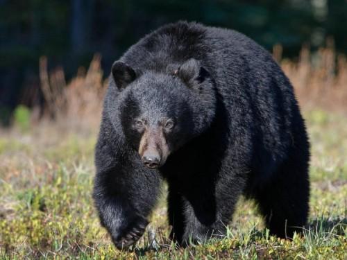 гималайского медведя 5