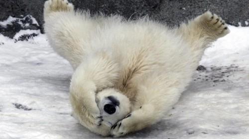 Жизнь белого медведя