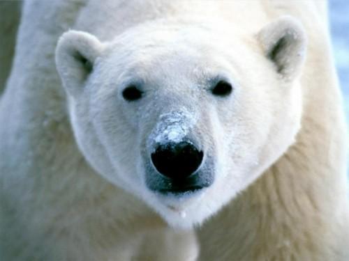 Жизнь белого медведя2