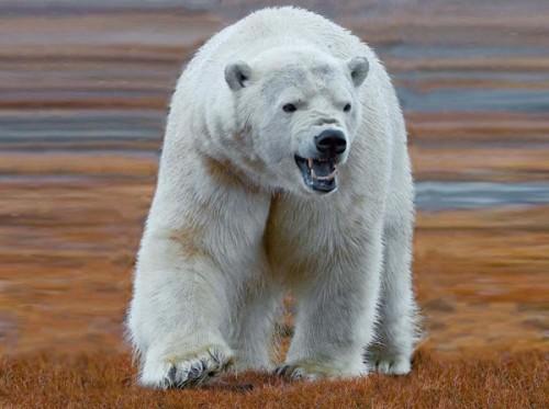 Жизнь белого медведя4