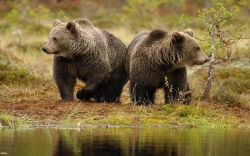 Интересные факты о медведях2