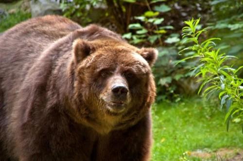 Медведь кадьяк3