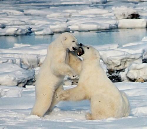 Описание белого медведя1