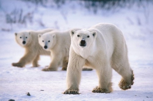 Рацион белого медведя4