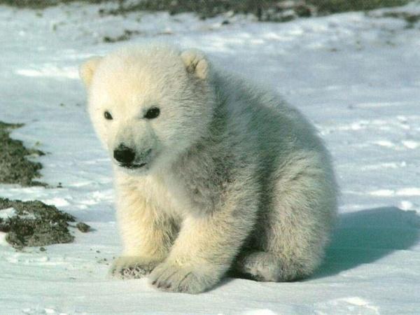 Картинки Белого Медведя