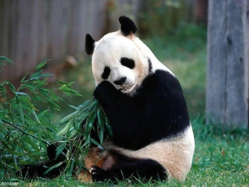 Рацион панды