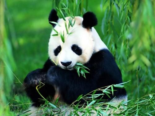 Рацион панды2